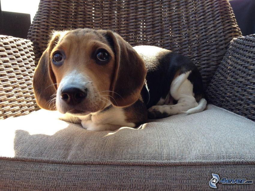 beagle cucciolo, sedia, cane sul cortile