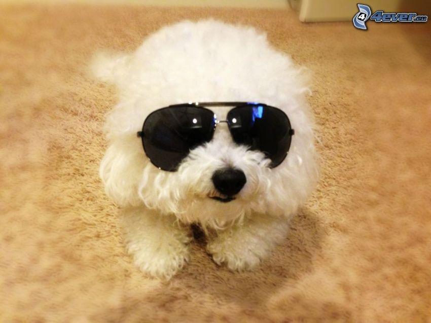Bichon Frisé, cane con gli occhiali, occhiali da sole