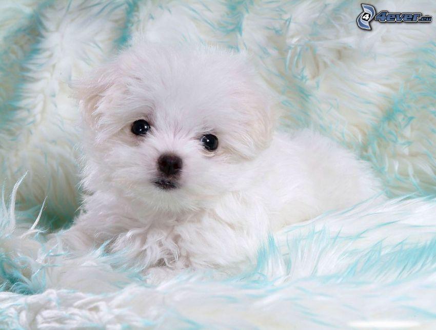 Bichon Frisé, cucciolo bianco
