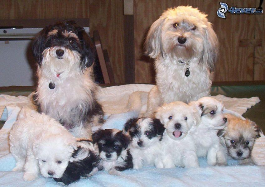 Bichon Havanais, cuccioli