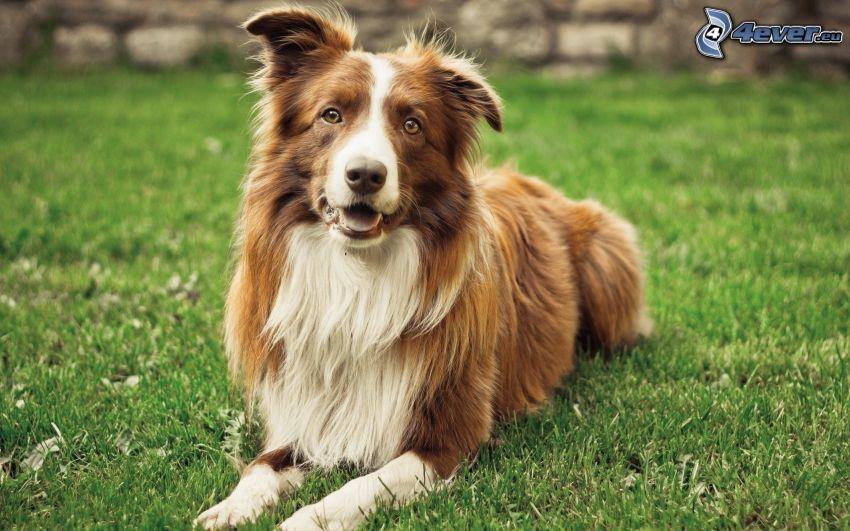 Border Collie, cane in erba