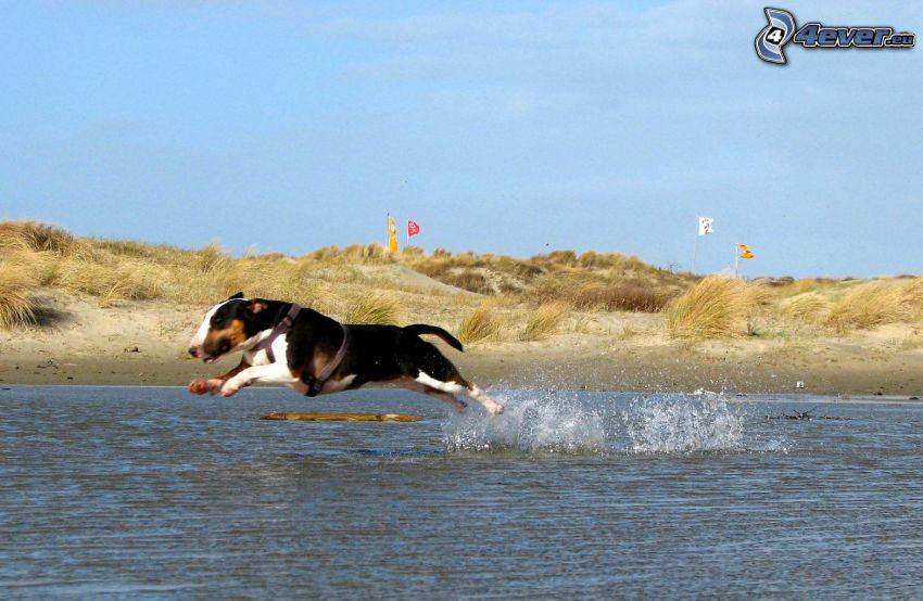 bull terrier, correre, acqua, costa