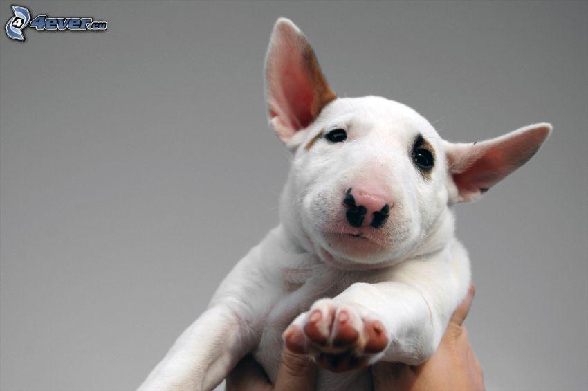 bull terrier, cucciolo