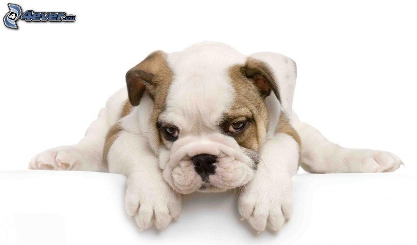 Bulldog inglese, cucciolo di bulldog