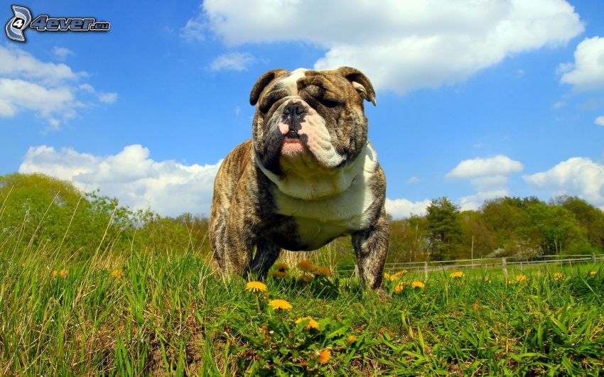 Bulldog inglese, dente di leone, erba verde