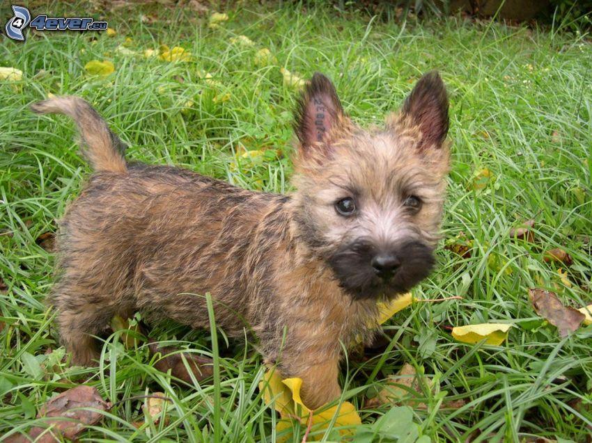 cairn Terrier, l'erba