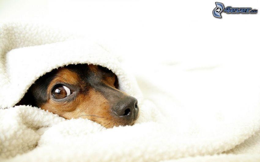 cane, coperta