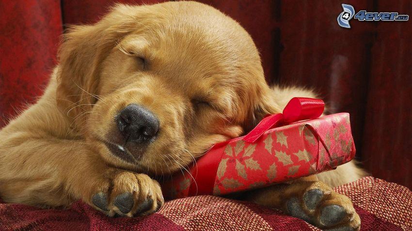 cane addormentato, regalo