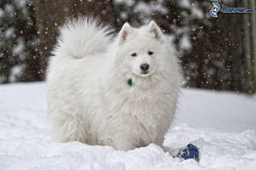 cane bianco, neve