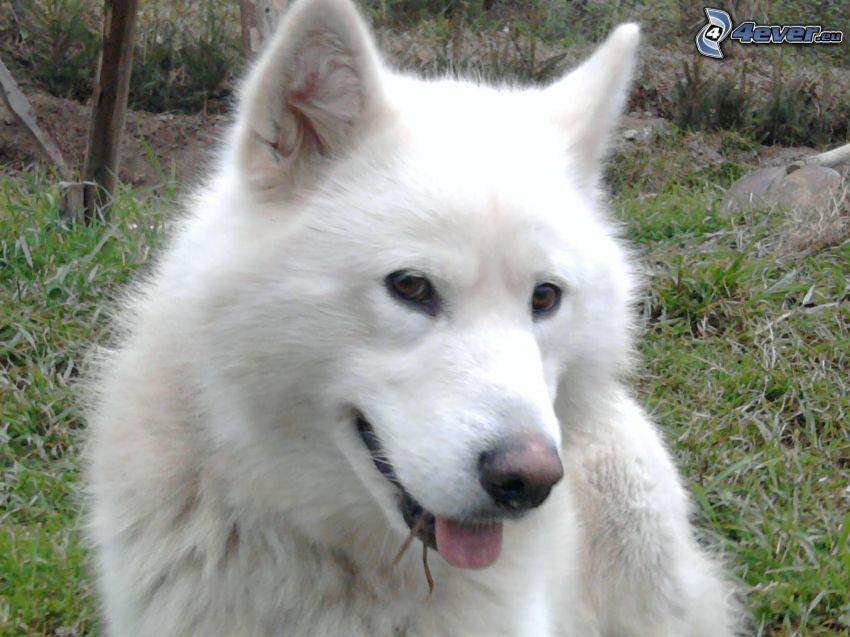 cane bianco, pastore tedesco