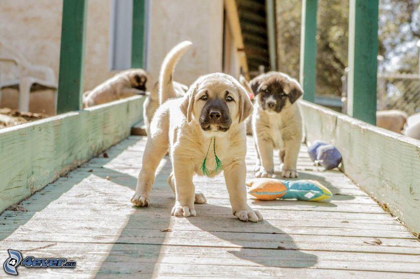 Cane da pastore dell'Anatolia, cuccioli