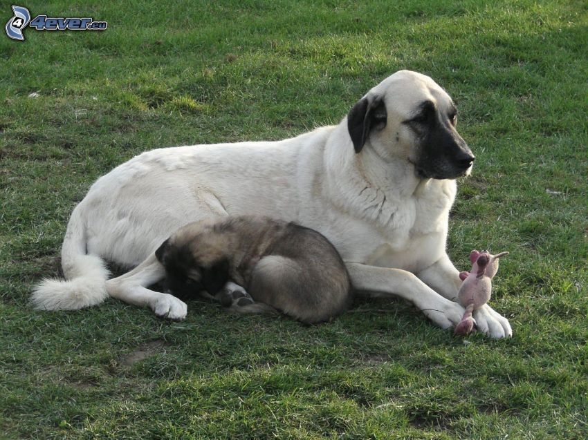 Cane da pastore dell'Anatolia, cucciolo