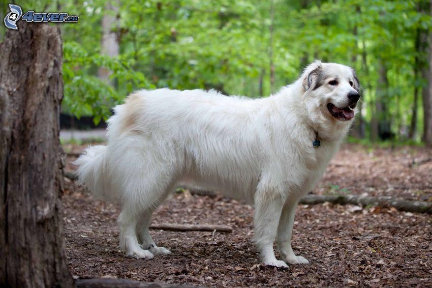 Cane da pastore dell'Anatolia, foresta