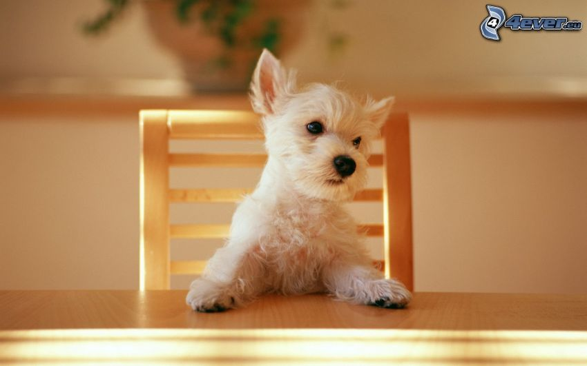 cane dietro un tavolo, sedia, cucciolo