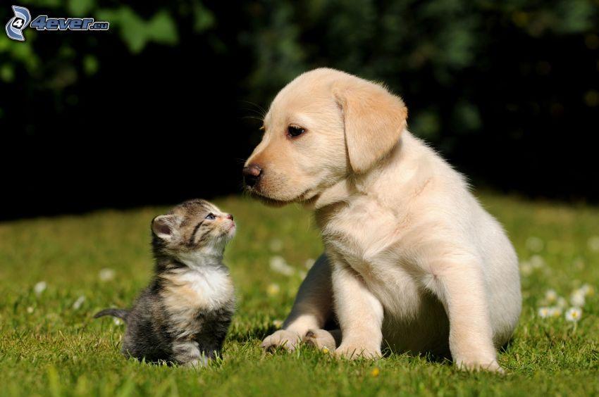cane e gatto, Labrador cucciolo, gattino