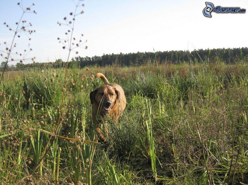 cane in erba, prato