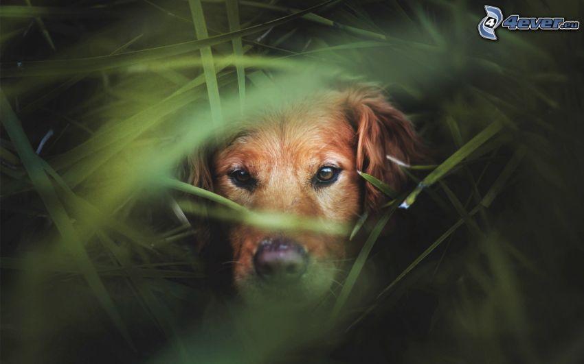 cane marrone, l'erba