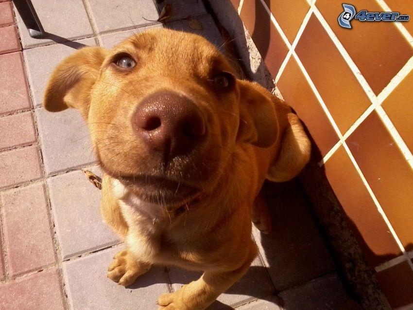 cane marrone, muso, piastrelle