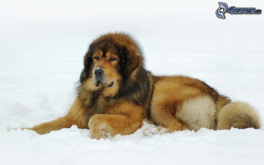 cane marrone, neve