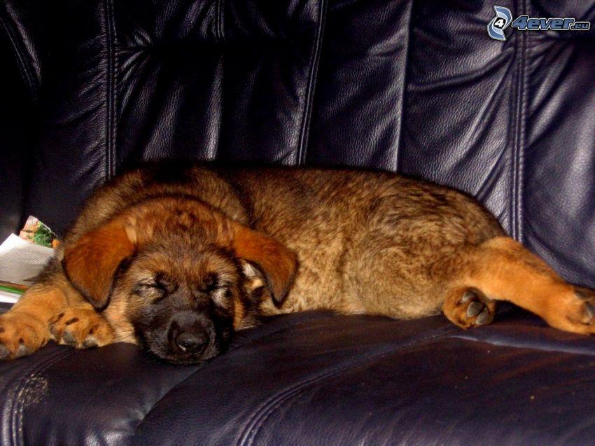 cane su divano, cane addormentato