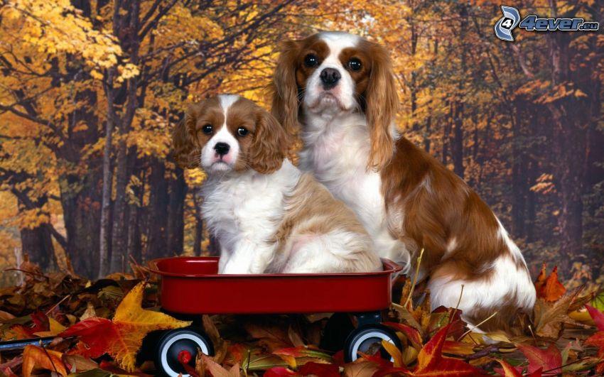 Cavalier King Charles Spaniel, carello, foglie di autunno, carta da parati
