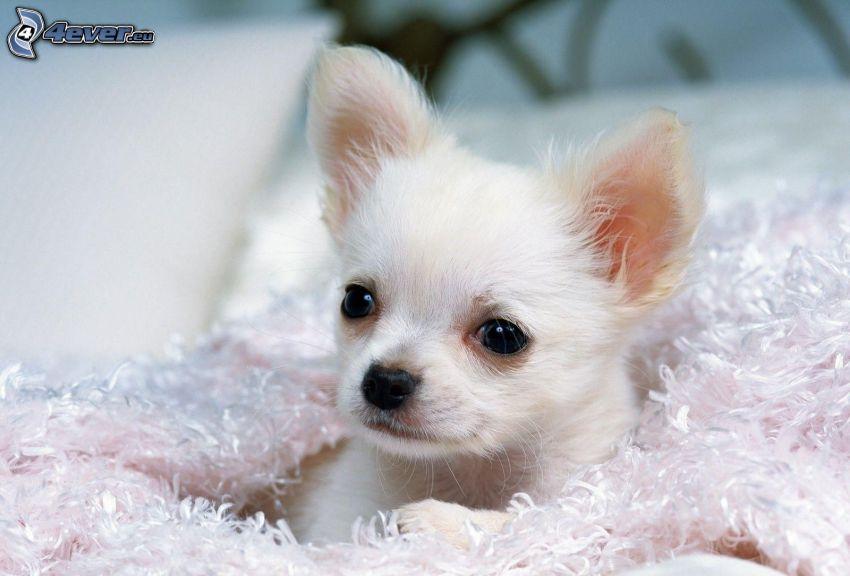 Chihuahua, cucciolo, cane bianco