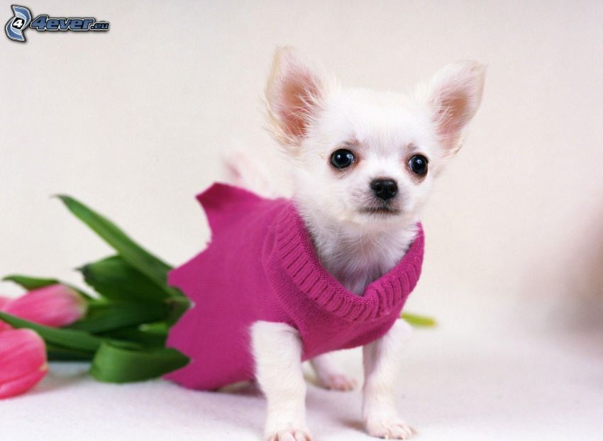 Chihuahua, maglione, tulipani rosa