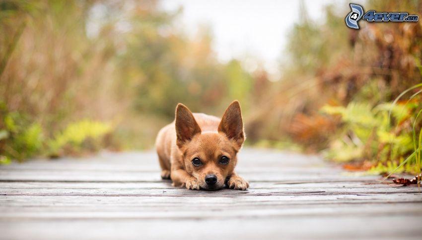 Chihuahua, pavimento di legno