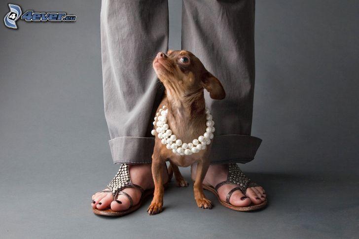 Chihuahua, perline, gambe