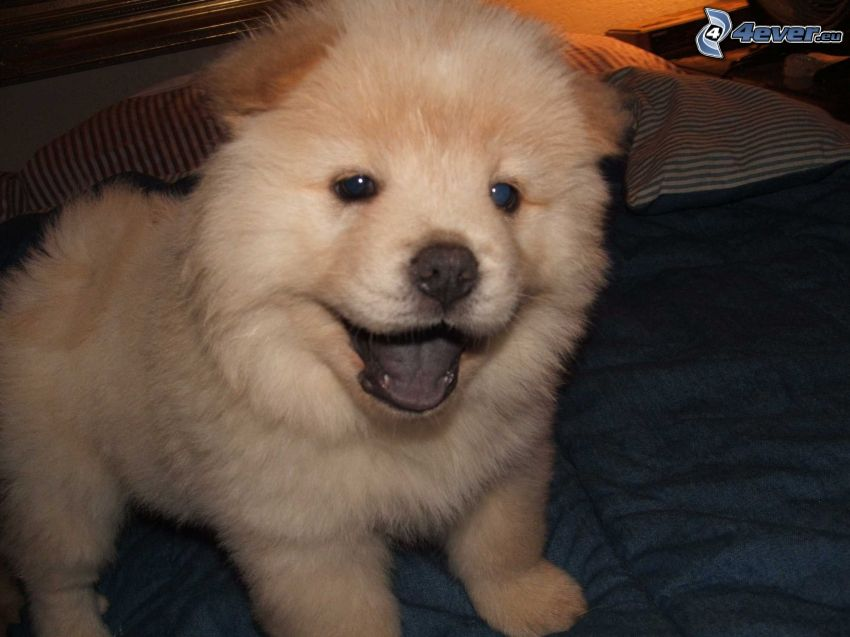 Chow Chow, letto