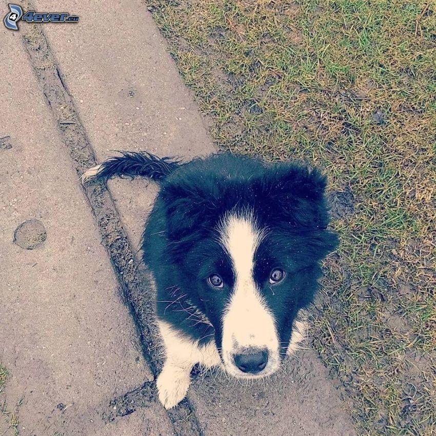 collie, cane sul cortile