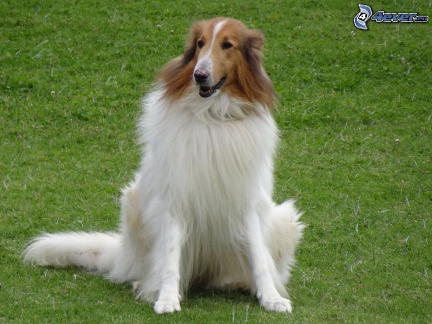 collie, prato