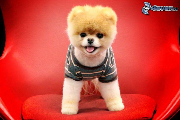cucciolo, maglia, sedia