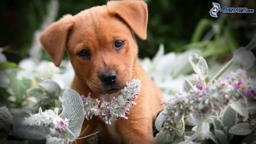 cucciolo, pianta