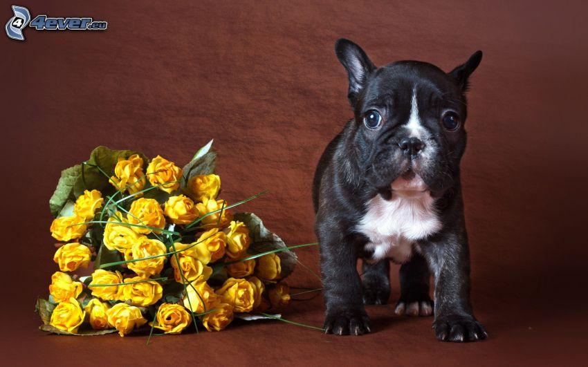 cucciolo, rose gialle