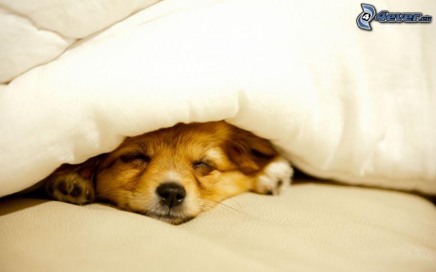 cucciolo addormentato, coperta
