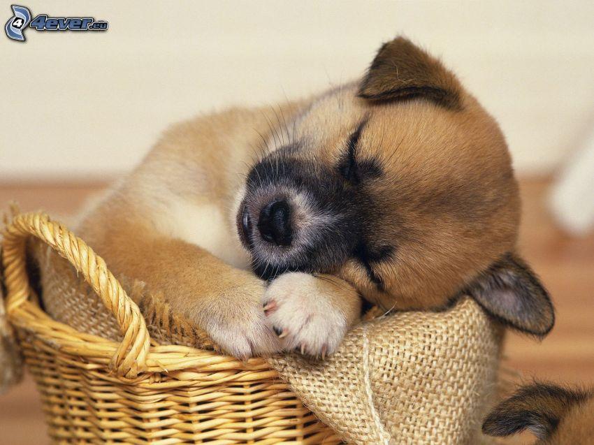 cucciolo addormentato, cucciolo in un cesto