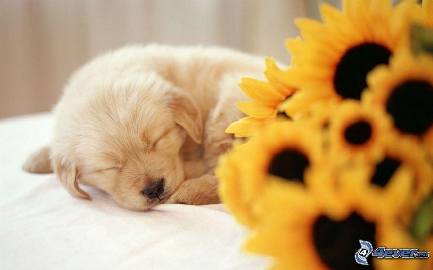 cucciolo addormentato, girasoli