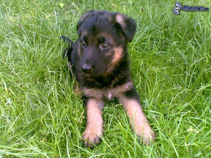 cucciolo di pastore tedesco, cucciolo in erba