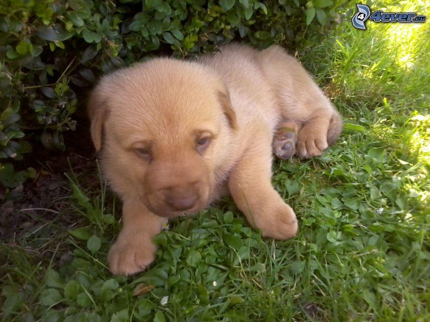 cucciolo in erba, cespugli