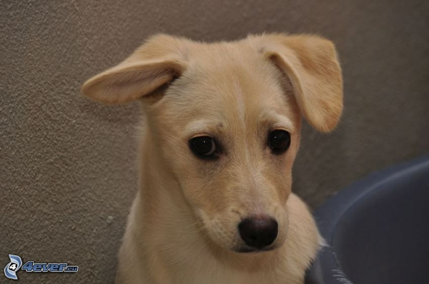 cucciolo marrone, cane sul cortile