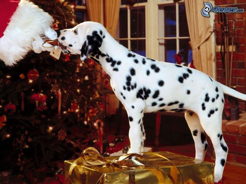 dalmata, albero di Natale, Babbo Natale, regalo