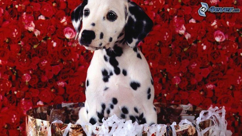 dalmata, cucciolo, rosa rossa