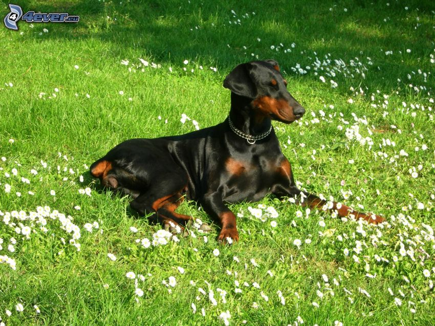 dobermann, cane in erba
