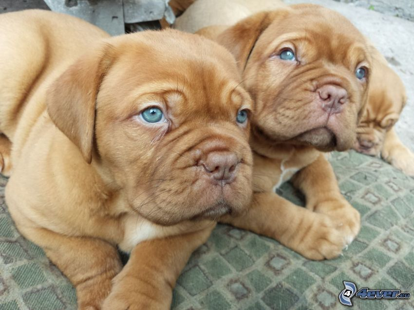 Dogue de Bordeaux, cuccioli