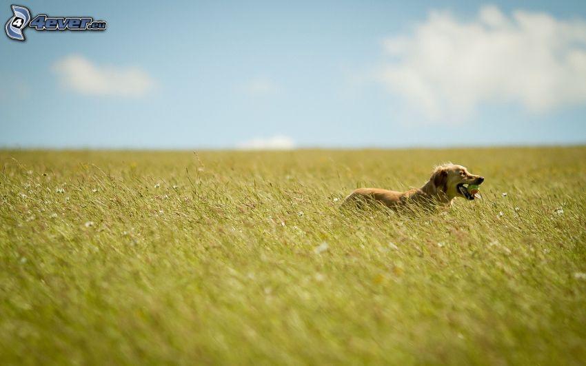 golden retriever, campo