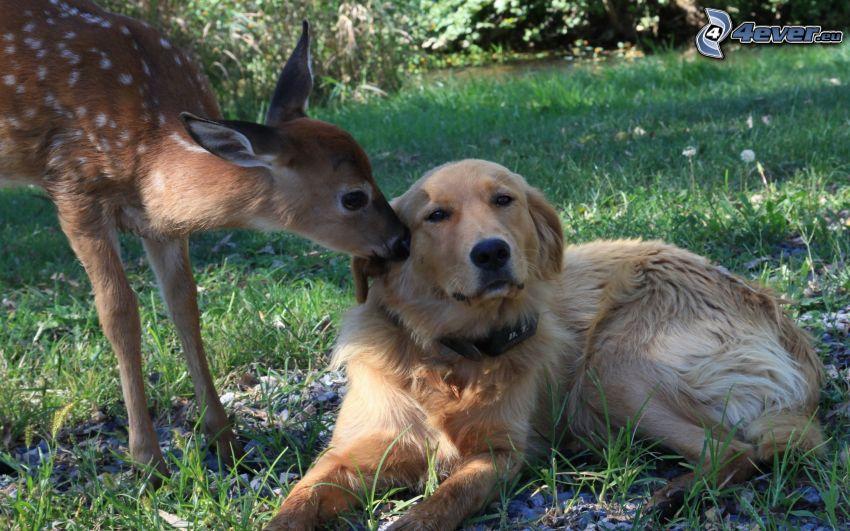 golden retriever, cucciolo di cervo