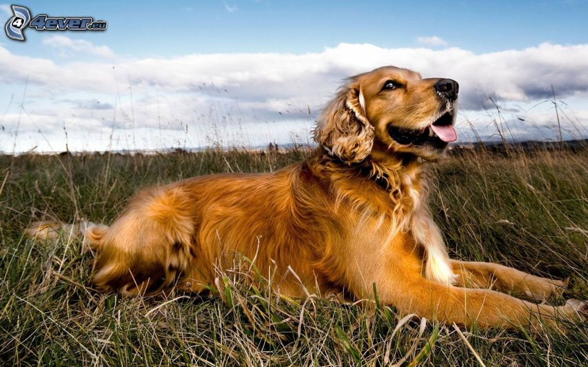 golden retriever, erba secca
