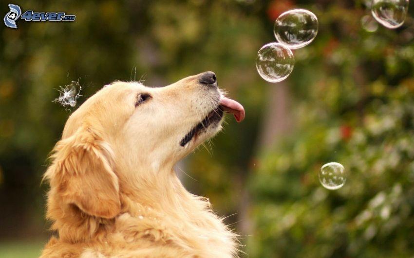 golden retriever, la lingua fuori, bolle