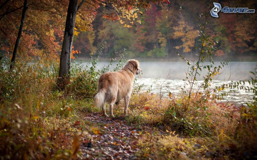 golden retriever, lago, alberi colorati